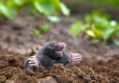 How Should a Mole Infestation Be Dealt With?