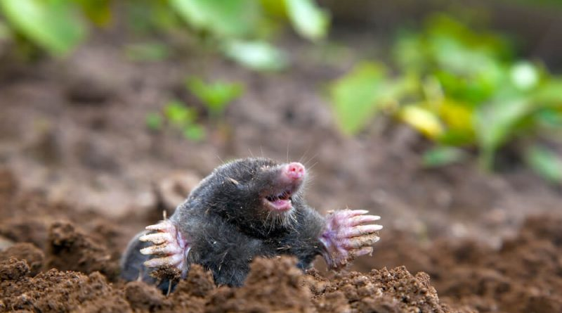 mole control edinburgh 800x445 - How Should a Mole Infestation Be Dealt With?