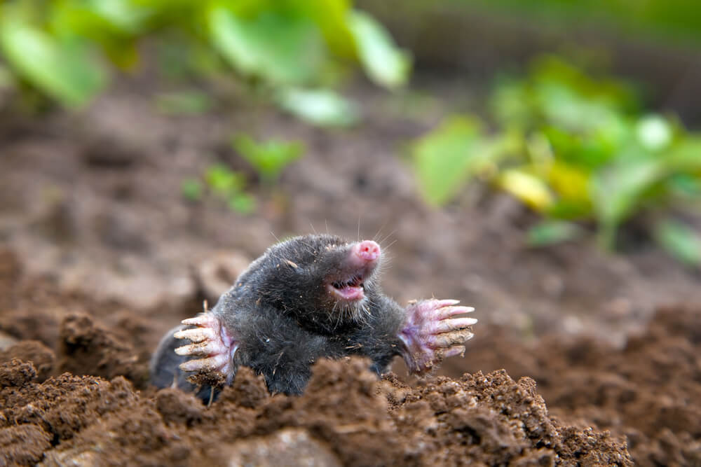 mole control edinburgh - How Should a Mole Infestation Be Dealt With?